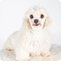 Maltese Dog for adoption in St. Louis Park, Minnesota - Geisha