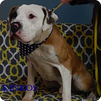 Bucyrus Oh American Staffordshire Terrier St Bernard Mix Meet Kinkos A Dog For Adoption