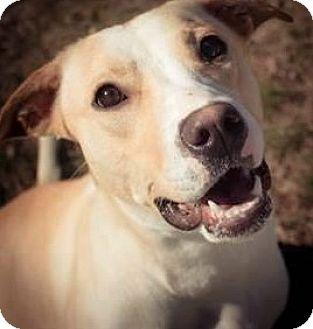 Labrador Retriever Mix Dog for adoption in Pompton Lakes, New Jersey - Dana