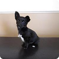 Adopt A Pet :: Cuddles - Claremore, OK