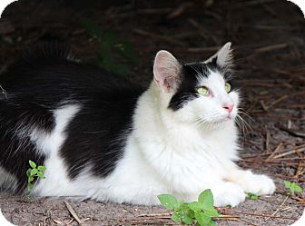 Domestic Mediumhair Cat for adoption in Bonita Springs, Florida - Elizabeth Taylor