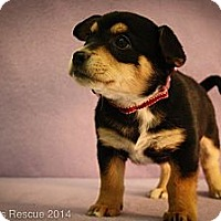 Adopt A Pet :: Ginny - Broomfield, CO