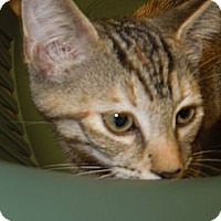 Adopt A Pet :: Opal - Medina, OH
