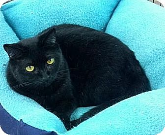 Domestic Shorthair Cat for adoption in Pineville, North Carolina - Lisa Marie