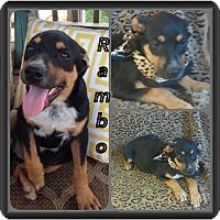 Adopt A Pet :: Rambo-pending adoption - East Hartford, CT
