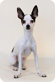 Chihuahua Mix Dog for adoption in Bloomington, Minnesota - Gizzy