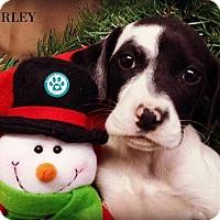 Adopt A Pet :: Harley - Kimberton, PA