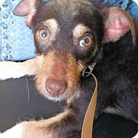 Adopt A Pet :: Mylo - Aurora, CO