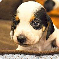 Adopt A Pet :: Abu - Lake Odessa, MI
