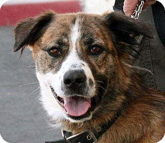 Border Collie Mix Dog for adoption in Palmdale, California - Gigi