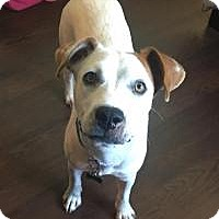 Boxer/Jack Russell Terrier Mix Dog for adoption in Joliet, Illinois - Annabelle