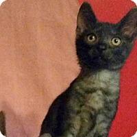 Adopt A Pet :: Joker - Fairfax, VA