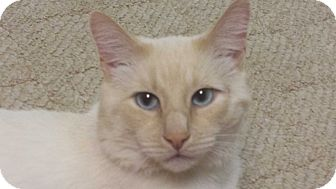 Siamese Cat for adoption in Stafford, Virginia - Simon