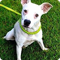 Labrador Retriever/Staffordshire Bull Terrier Mix Dog for adoption in Whiteville, North Carolina - Jodi