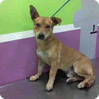 Adopt A Pet :: BRAXTON - Houston, TX