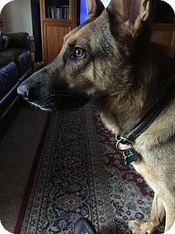 German Shepherd Dog Mix Dog for adoption in Dripping Springs, Texas - Rex