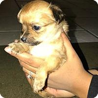 Adopt A Pet :: Loki - Boulder, CO
