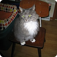 Domestic Longhair Cat for adoption in Rochester, Minnesota - Charlie Mittens