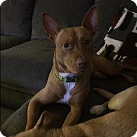 Adopt A Pet :: Sophie TrG - Schertz, TX