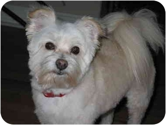 maltese westie mix piper adopted dog frisco tx westie west highland 4673
