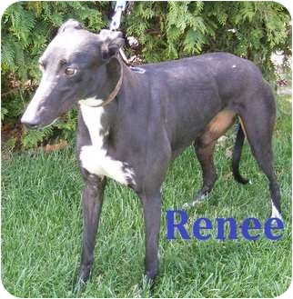Greyhound Dog for adoption in Fremont, Ohio - Renee