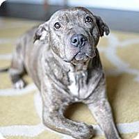 Adopt A Pet :: Tilly - Des Peres, MO