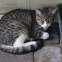 Domestic Mediumhair Cat for adoption in Thibodaux, Louisiana - Pepper FE1-9384