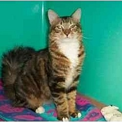 Photo 4 - Domestic Mediumhair Kitten for adoption in Secaucus, New Jersey - The Commander