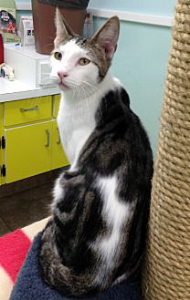 Domestic Shorthair Kitten for adoption in Putnam Hall, Florida - Skunky