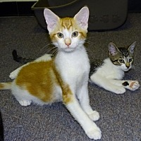 Adopt A Pet :: Creamsickle - Mt. Vernon, NY