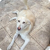 Adopt A Pet :: Bianco-Baladi/Egyptian Dog - Monroe, NJ
