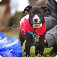 Adopt A Pet :: Neetz Talo - Thompson's Station, TN