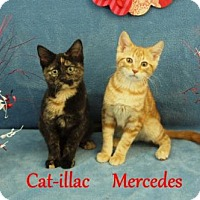 Adopt A Pet :: Cat-illac - Elkhorn, WI
