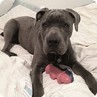 Adopt A Pet :: Bella Blue - Redondo Beach, CA