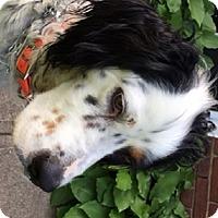 Adopt A Pet :: BOONE - Pine Grove, PA