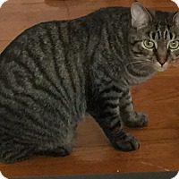 Domestic Shorthair Cat for adoption in Cleveland, Ohio - Dooley