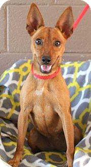 Miniature Pinscher Mix Dog for adoption in Summerville, South Carolina - Lulu
