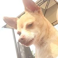 Adopt A Pet :: Simba - Miami, FL