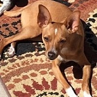 Chihuahua Mix Dog for adoption in Mesa, Arizona - Peyton