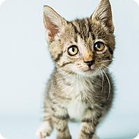 Domestic Shorthair Kitten for adoption in Hendersonville, North Carolina - Freedom