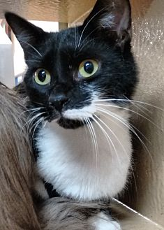 Domestic Shorthair Cat for adoption in Morganton, North Carolina - Jimmy
