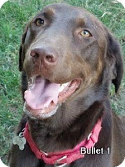 Labrador Retriever Dog for adoption in Torrance, California - Bullett1