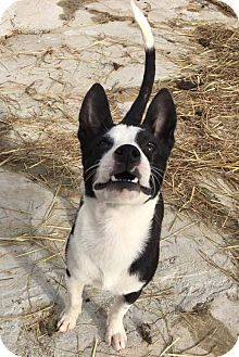 Boston Terrier Mix Puppy for adoption in Arlington, Massachusetts - Tic Tac To