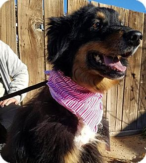Australian Shepherd Dog for adoption in Apple Valley, California - Flossie
