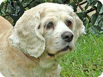 Cocker Spaniel Dog for adoption in Downey, California - Ginger