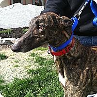 Adopt A Pet :: Storm - Florence, KY