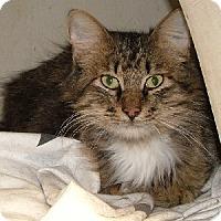 Maine Coon Cat for adoption in Savannah, Missouri - Tobin