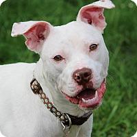 Adopt A Pet :: Snow White - Eastpointe, MI