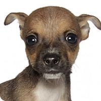 Adopt A Pet :: Calypso - Oakland Park, FL