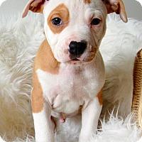Adopt A Pet :: 2Pac - Detroit, MI